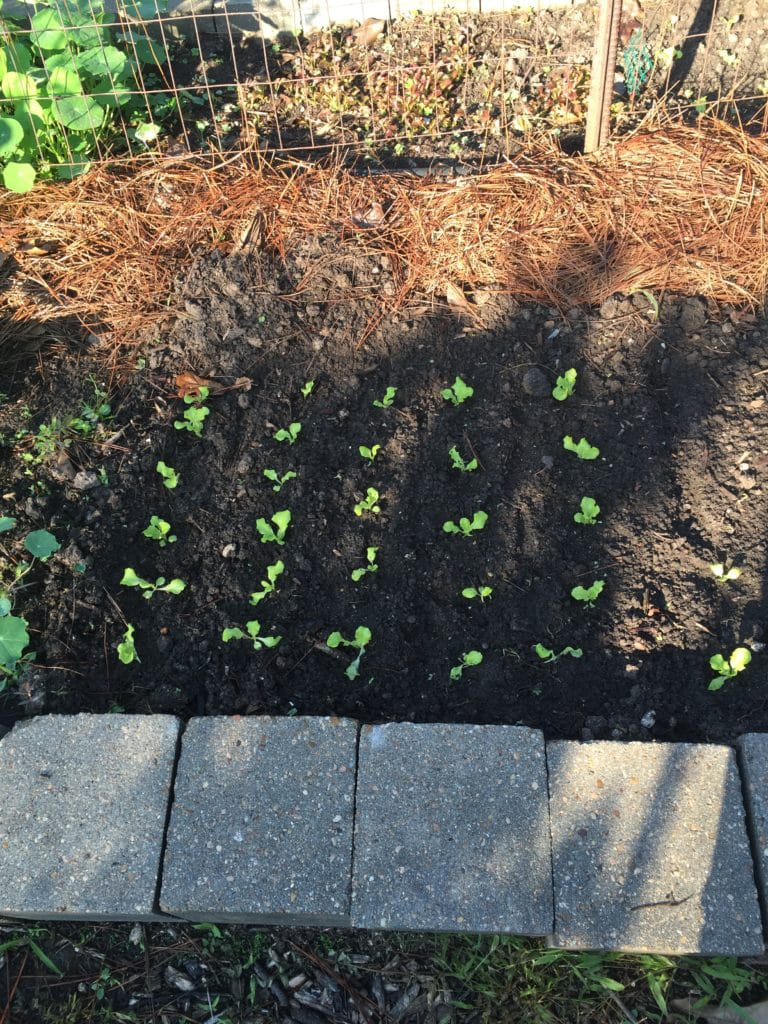 How to Grow Lettuce in Houston