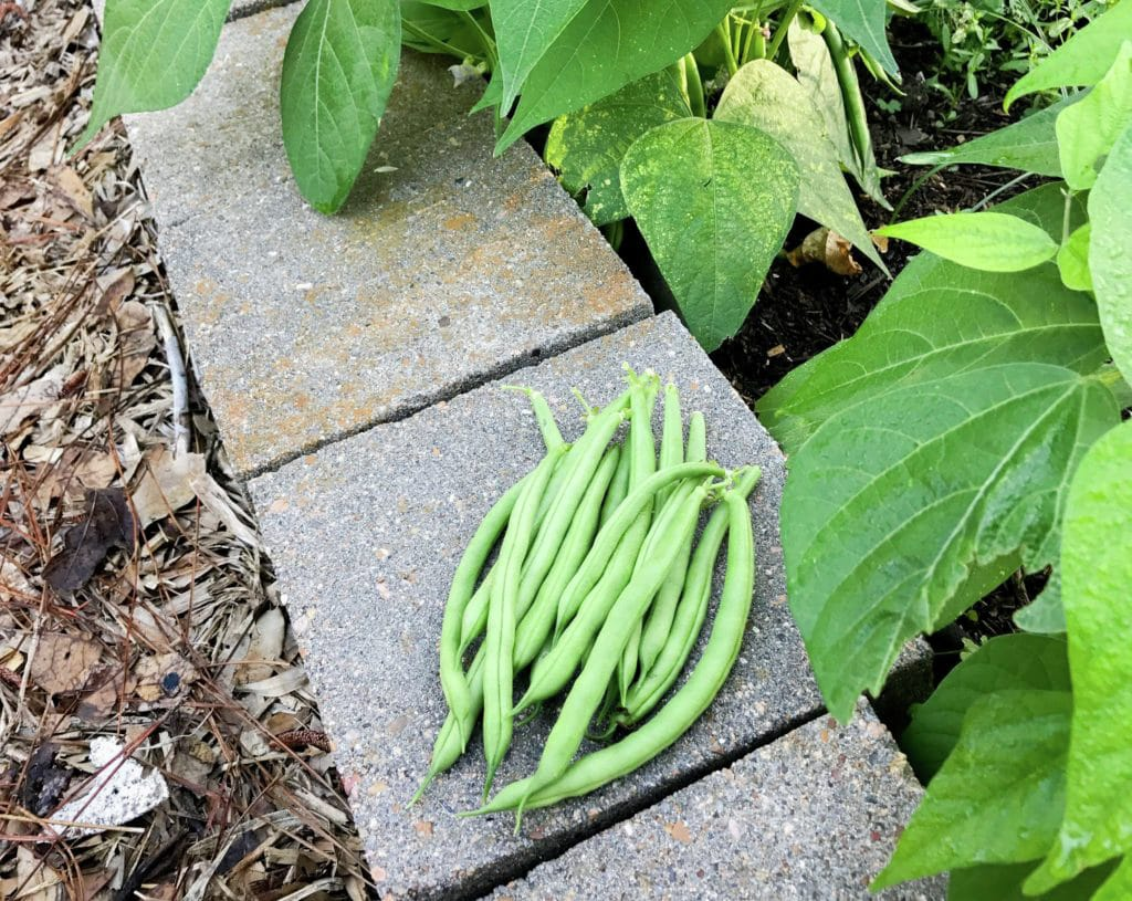 How to Grow Beans in Houston