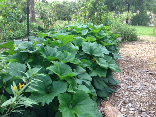 How to Grow Squash in Houston