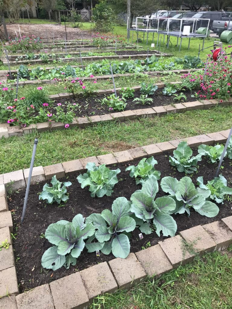 How to Grow Broccoli, Cabbage and, Cauliflower in Houston