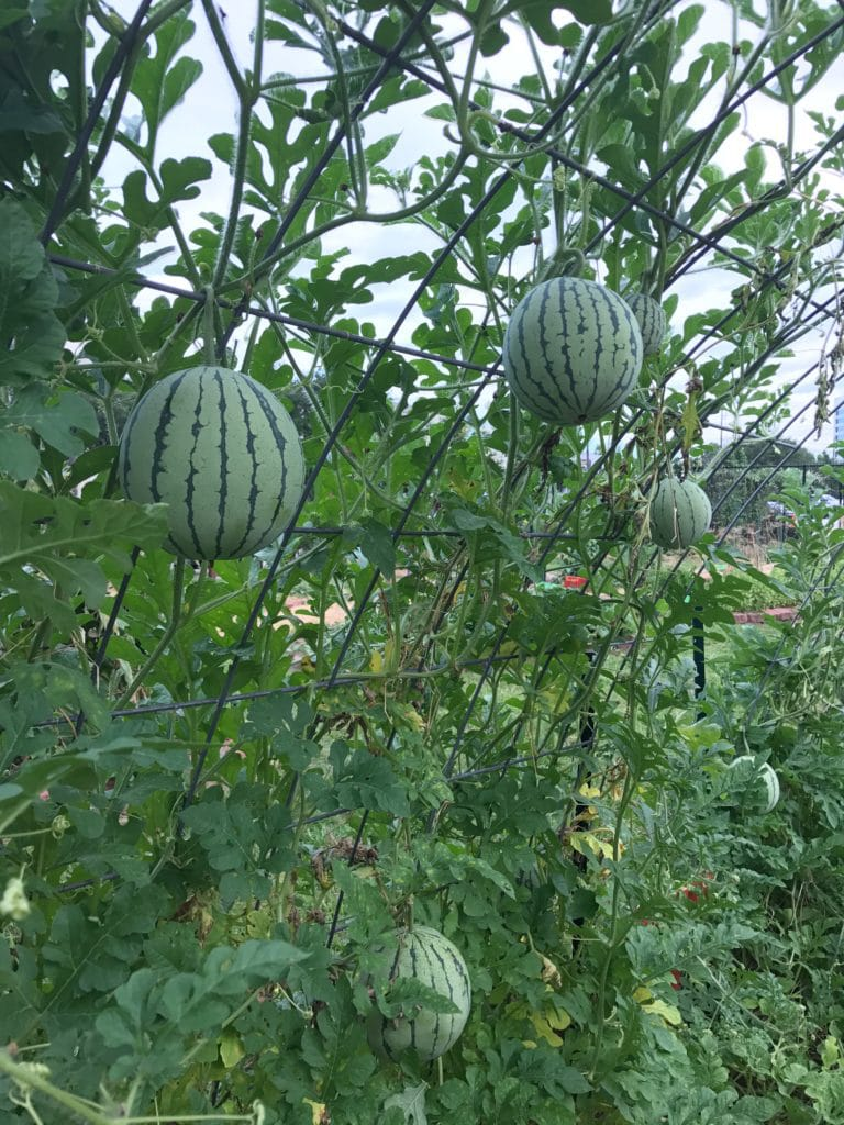 How to Grow Melons and Watermelons in Houston
