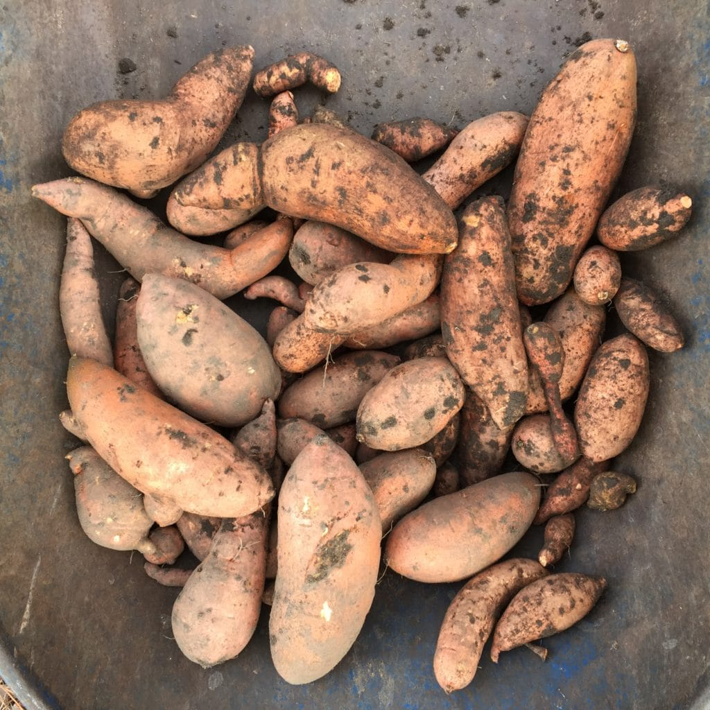 How to Grow and Harvest Sweet Potatoes in Houston