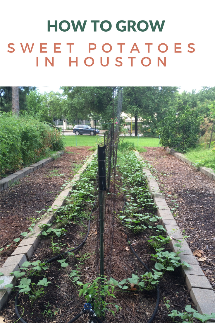 How to grown and harvest sweet potatoes in Houston